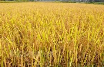 农户全力抢收成熟水稻 90%以上已经完成